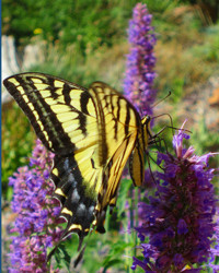 Western Swallowtail sipping 'Agastache Blue Blazes