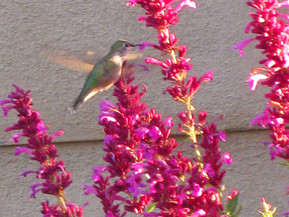 August Planting for Pollinators in New Mexico