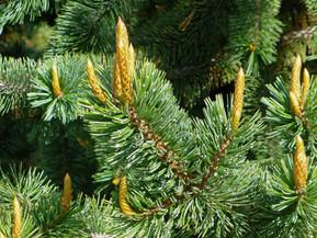 Pruning Conifers