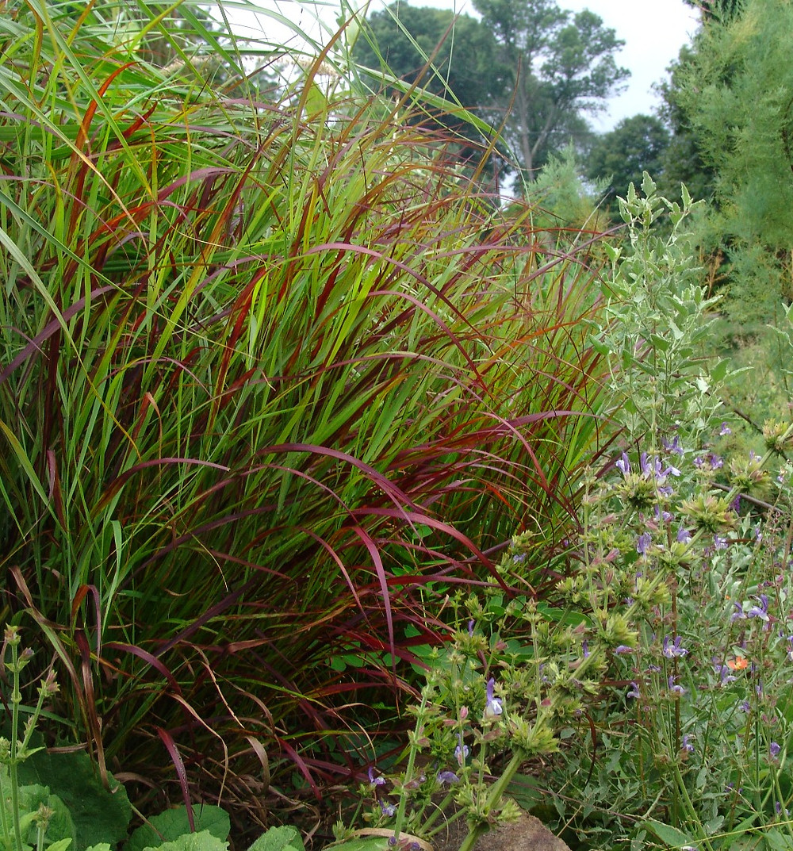 Panicum vir. 'Shenandoah'  (Burgundy Prairie Switchgrass)