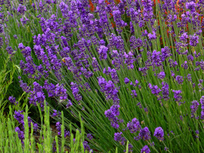 Late Summer Lavender Care