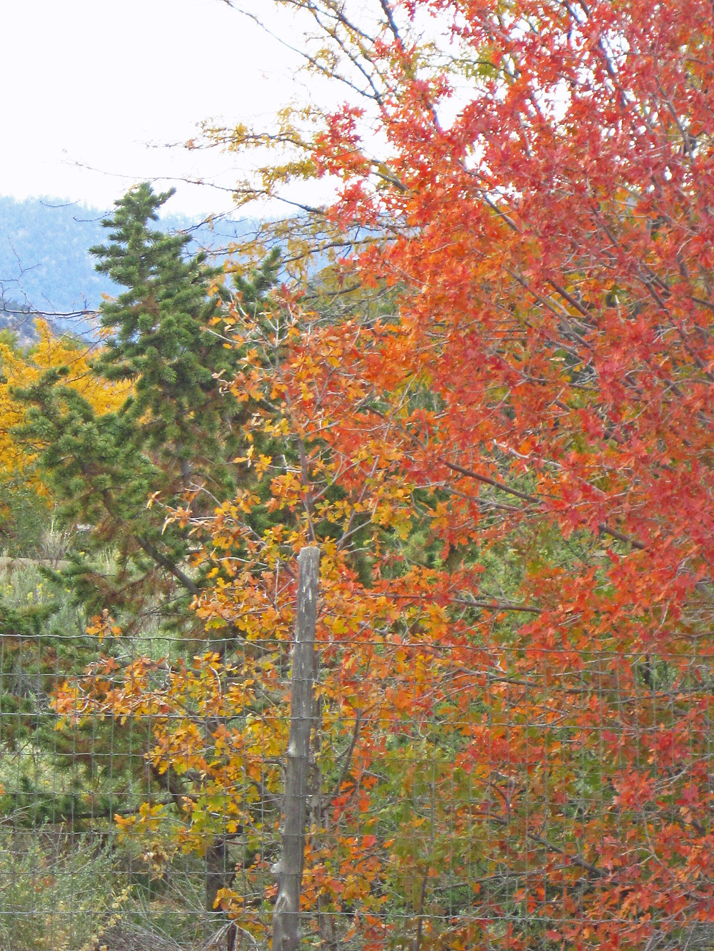 colorful Quercus fall foliage