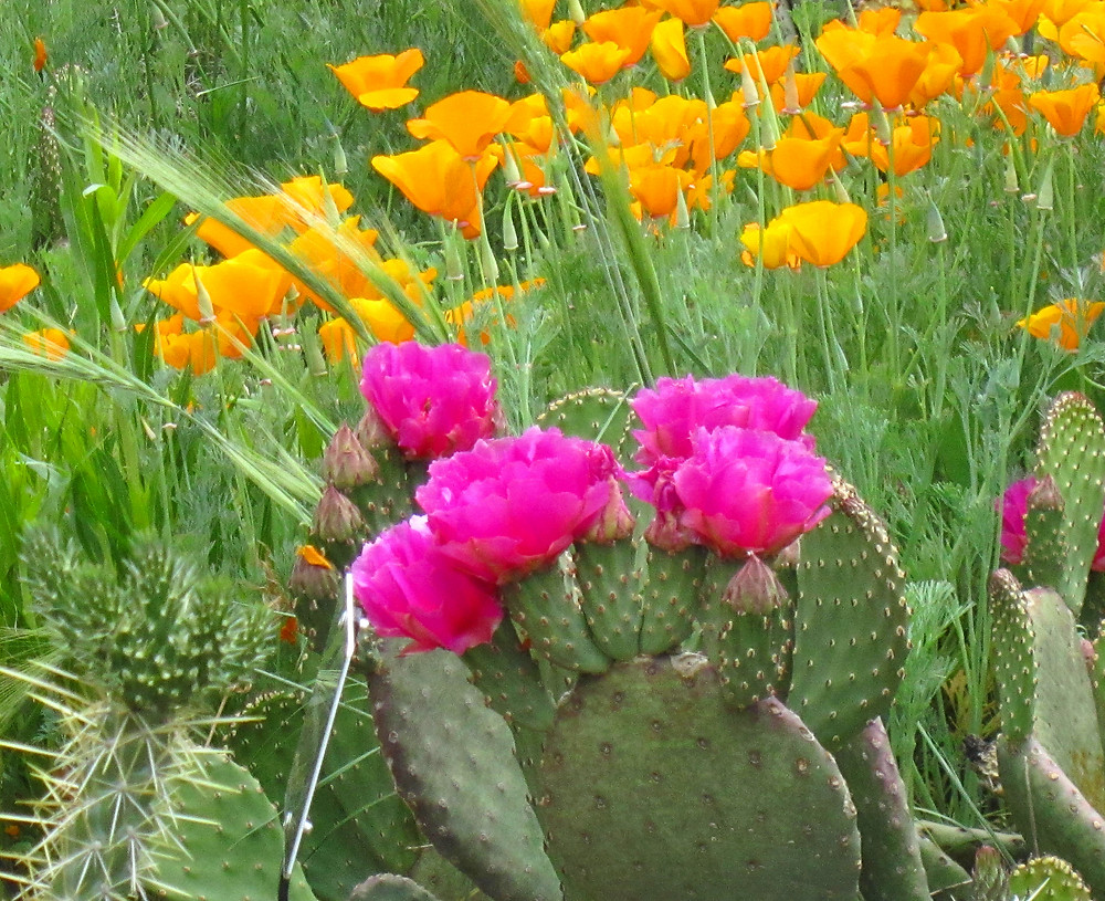 Opuntia basilaris with Escholtzia californica