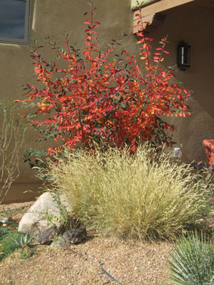 Bouteloua Blonde Ambition with Cotoneaster, Agave and Opunti