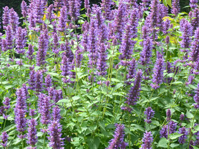 Hummingbird Mints - Outstanding Perennials for the Santa Fe Garden