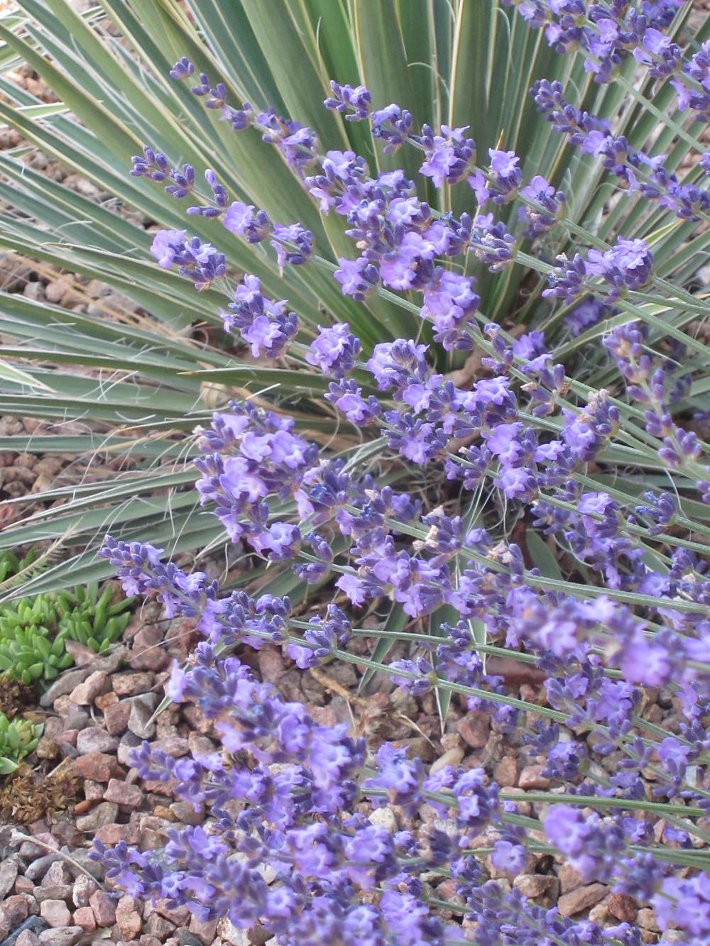 Lavandula angustifolia 'Sharon Roberts'