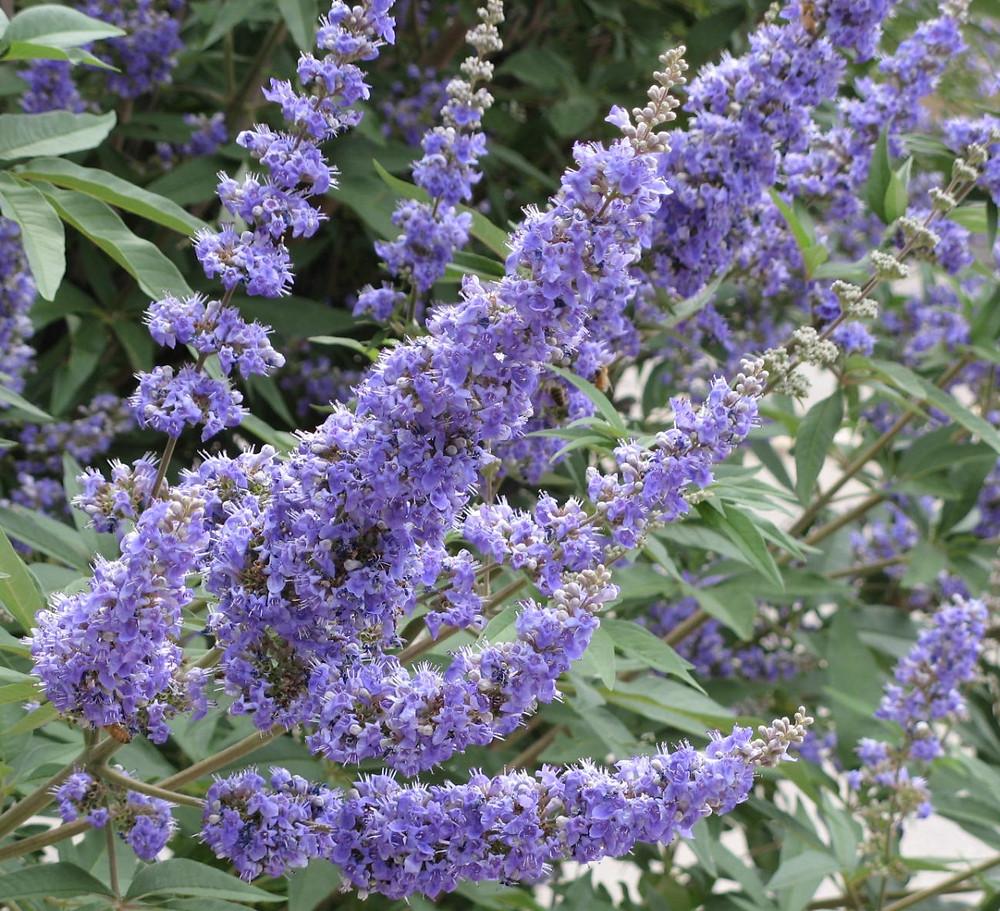 Vitex agnus-castus  (Chaste Tree)