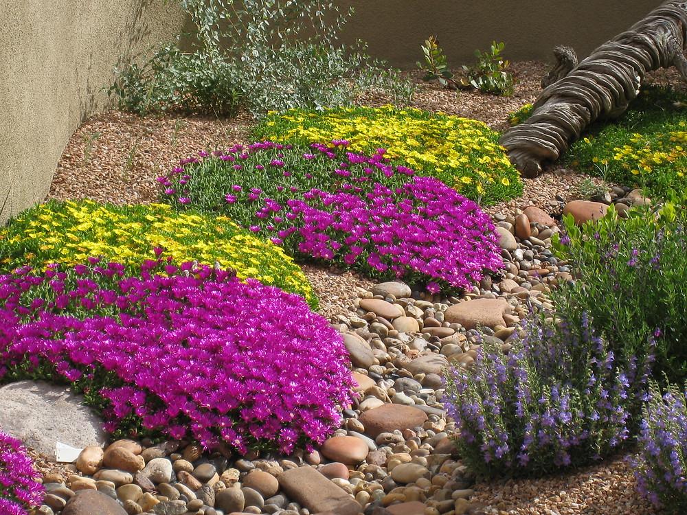 Delosperma ashtonii Blut, Delosperma nubigenum in Santa Fe garden