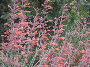 The Story of A Home Grown Hero; Agastache rupestris and its Rise to Fame