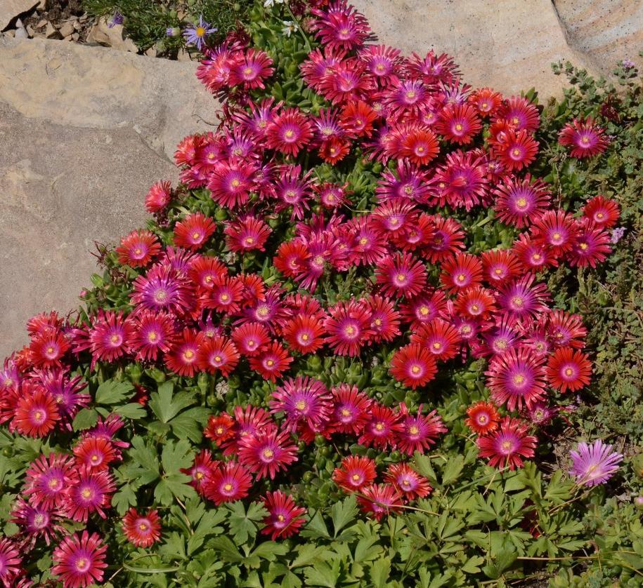 Granita ® Raspberry Ice Plant (Delosperma Granita Raspberry)
