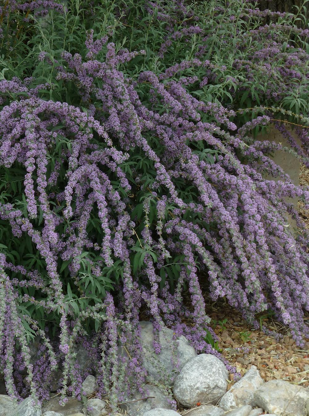 Buddleia alternifolia Argentea