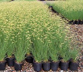 Blonde Ambition Blue Grama Grass Apply to Propagate