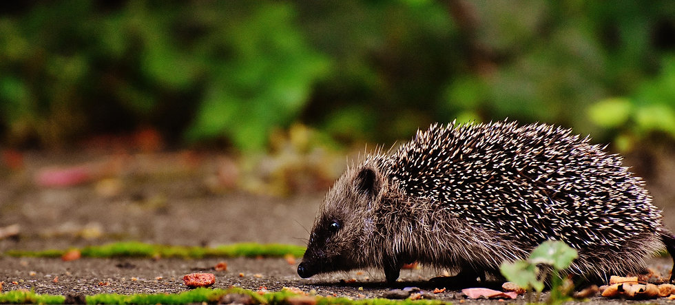 hedgehog-child-1701537_1920.jpg