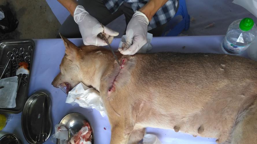 một cá thể chó đã được khâu vết thương h
