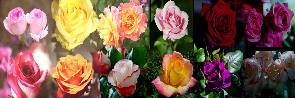 Roses_Pixaby_2_.jpg