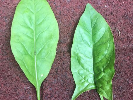 Spring Spinach Harvest