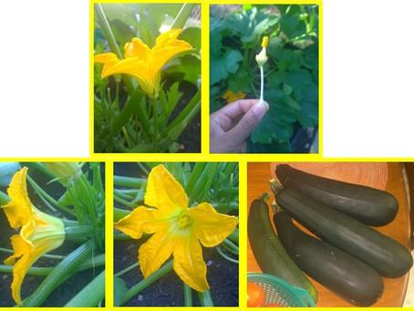 Hand Pollination - Zucchini
