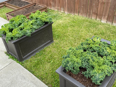 Curly Kale Update