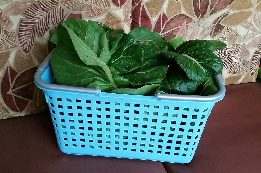 Pak choy harvested on May 26, 2015.