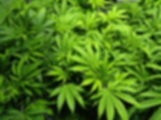 green-leaves-cannabis-background-vegetat