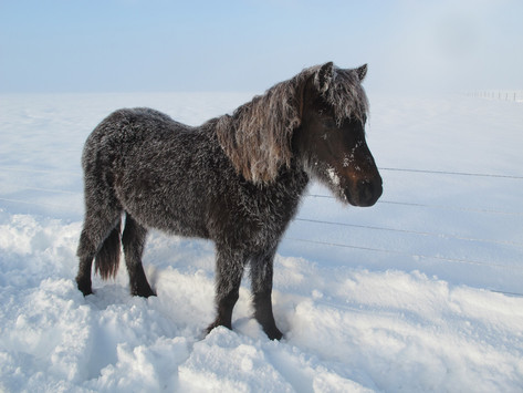 An Icelandic horse in its element