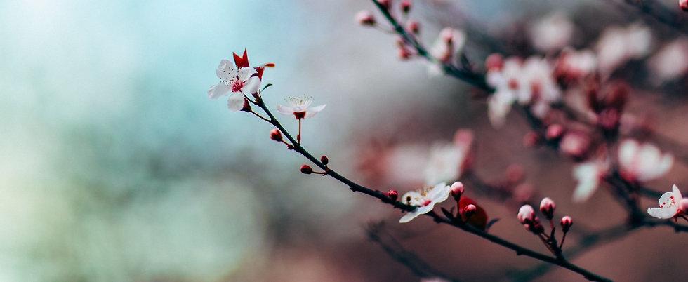 cherry-blossom-focus-seattle_edited.jpg