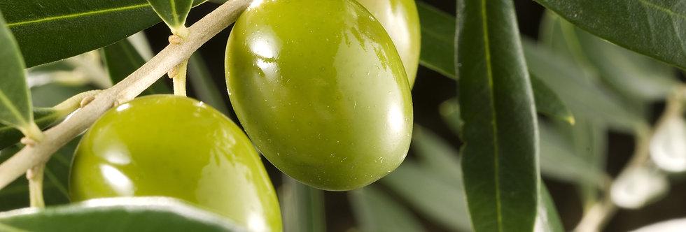 "Olive ""Evoluta"" (XLarge)"