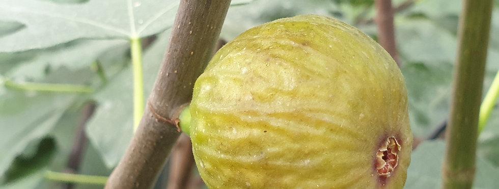 Siciliano Verde (Large*)