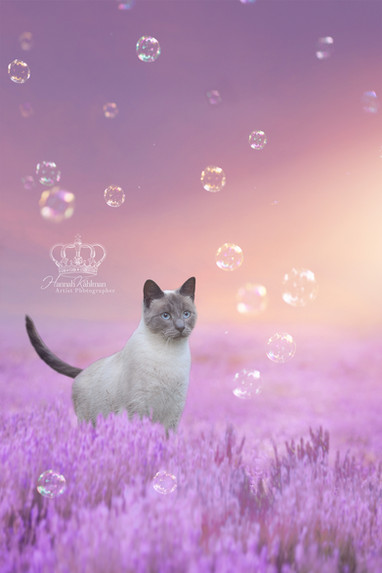 conceptual_Cat_in_lavender_field_at_suns
