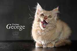 Cute Kitten photo of George for adoption