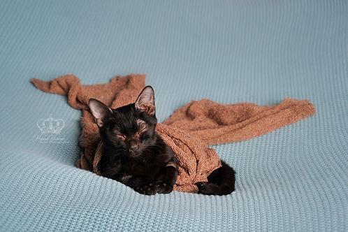 Newborn_kitten_fine_art_portrait_Anchora