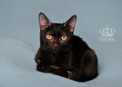 Kitten_headshot_portrait_on_blanket_like_newborn_Anchorage_Alaska_pet_photographer_Hannah_Kåhlman_Ar