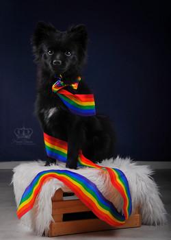Pometanian_dog_in_pride_Anchorage_Alaska