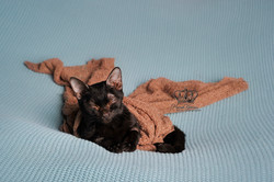 newborn photographer anchorage alaska kitten like a newborn on blue blanket by Anchorage Alaska Eagl