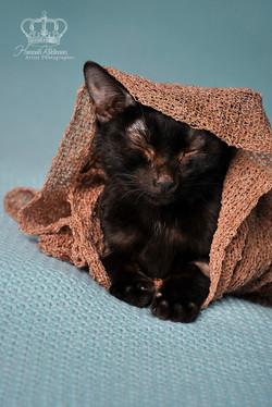 Kitten_like_newborn_on_blanket_Anchorage_Alaska_pet_photographer_Hannah_Kåhlman_Artist_Photographer_
