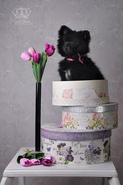 Pomeranian_dog_puppy_in_box_photo_pet_ph
