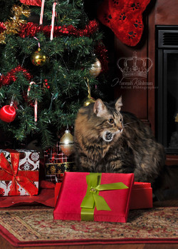 Maine_coon_eating_in_Christmas_scene_wit