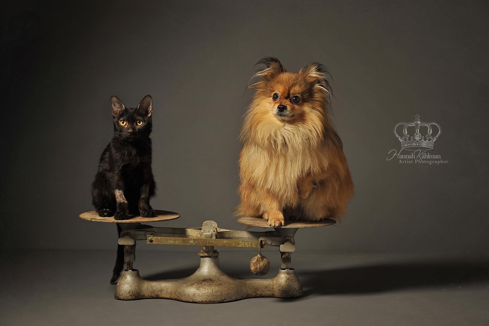 Black_kitten_and_dog_pomeranian_on_scale_portrait_Anchorage_Alaska_pet_photographer_Hannah_Kåhlman_A