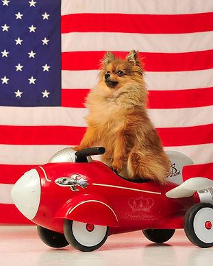 Pomeranian_dog_infront_of_American_flag_