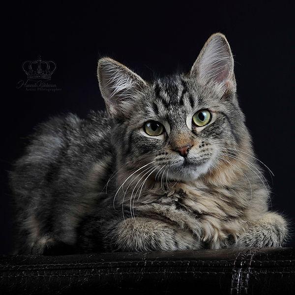Fine_Art_portrait_of_cat_in_studio_Ancho