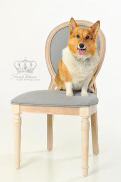 Corgie_dog_on_chair_portrait_Anchorage_Alaska_pet_photographer_Hannah_Kåhlman_Artist_Photographer_Un