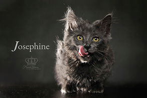 Cute Kitten photo of Josephine for adopt