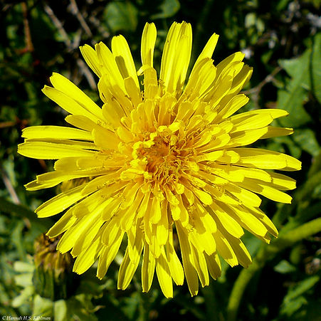 Image_of_dandelion_flower_by_Anchorage_A