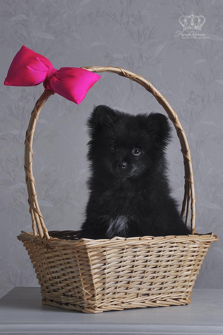 Pomeranian_puppy_in_basket_photo_pet_pho