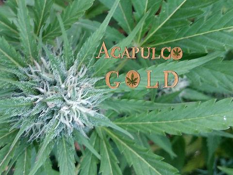 1Acupulco Gold.jpg