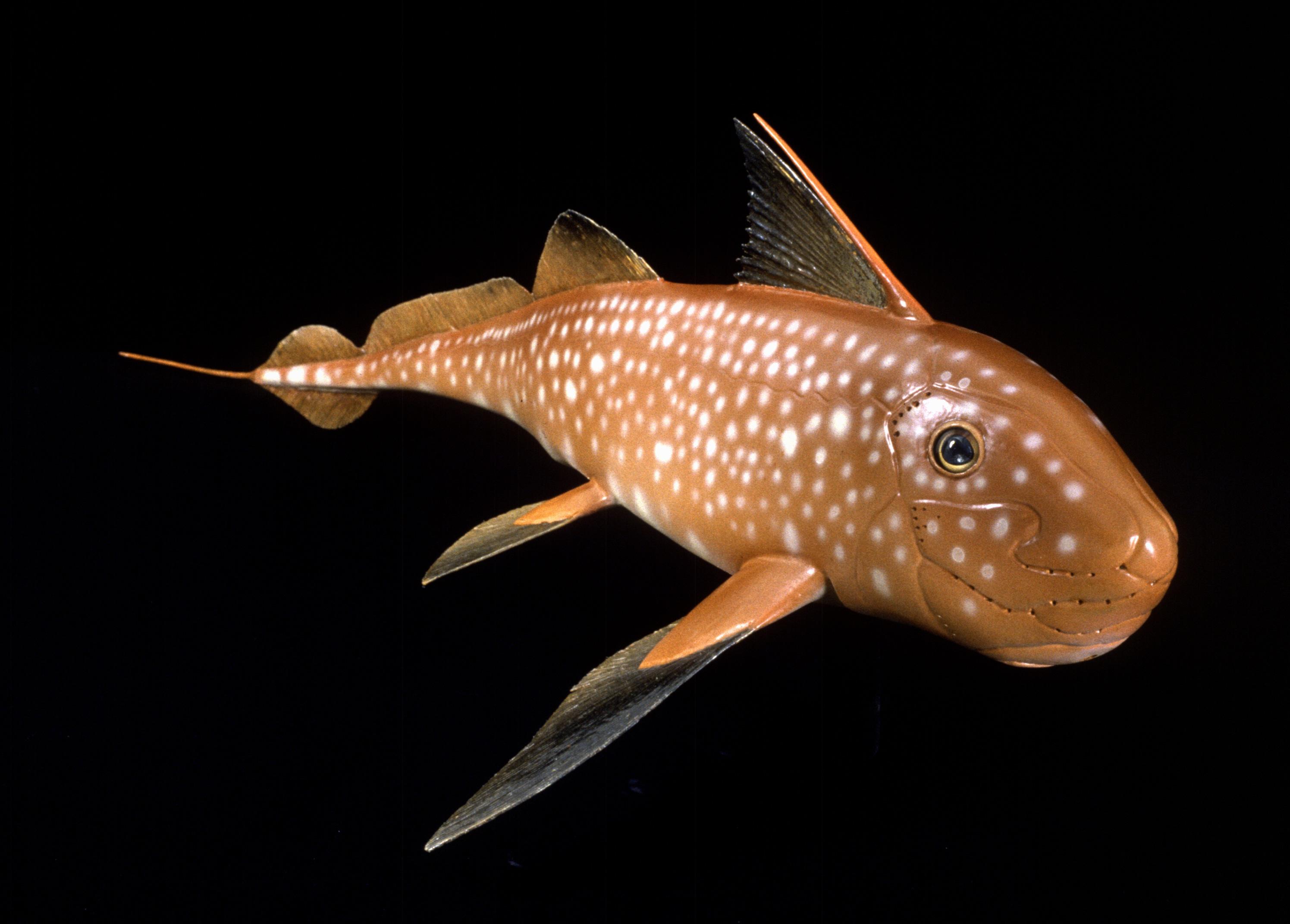 Ratfish
