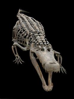 Deinosuchus reconstruction