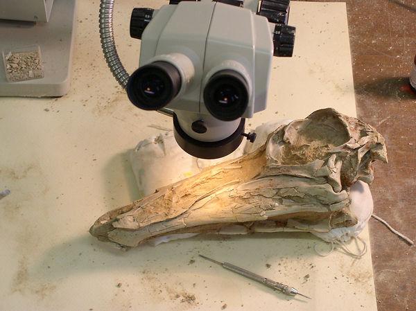 gallimimus skull fossil prep dinosaur