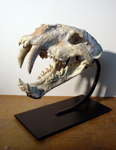Machairodus skull, restore & mount