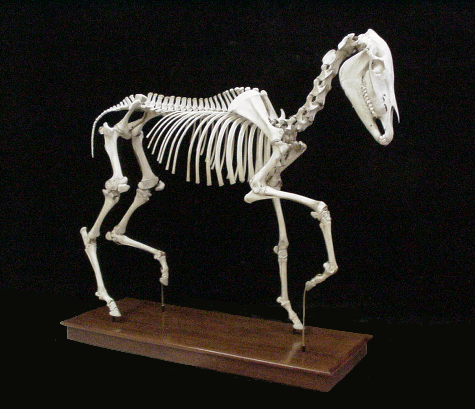 Horse skeleton, mounted